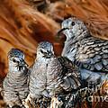 Baby Inca Doves by Robert Bales