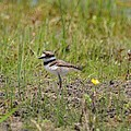 Baby Killdeer by Maria Urso
