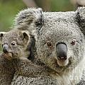Baby Koala With Mom by Traci Law