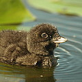 Baby Loon by James Peterson