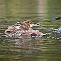 Baby Loons And Mom by Donna Doherty