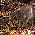 Baby Lynx Hunting In An Autumn Forest by Inspired Nature Photography Fine Art Photography