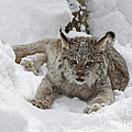 Baby Lynx In A Winter Snow Storm by Inspired Nature Photography Fine Art Photography