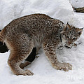 Baby Lynx Staying Close To Its Winter Den by Inspired Nature Photography Fine Art Photography