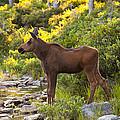Baby Moose Baxter State Park by Glenn Gordon