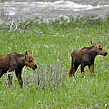 Baby Moose On The Banks Of The Gallatin by Bruce Gourley