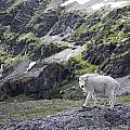 Baby Mountain Goat At Comeau Pass by Alex Blondeau