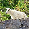 Baby Mountain Goat by Danielle Marie