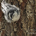 Baby Nuthatch by Marilyn Smith