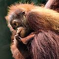Baby Orangutan Borneo by Carole-Anne Fooks