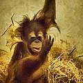 Baby Orangutan At The Denver Zoo by Priscilla Burgers
