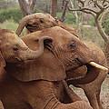 Baby Orphans Explore Imenti Tsavo Kenya by Gerry Ellis