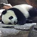 Baby Panda by John Telfer