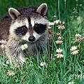 Baby Raccoon by Jeanne White