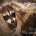 Baby Raccoon by Sharon Ely