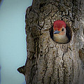 Baby Red Bellied Woodpecker by Jack R Perry