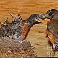 Baby Robins Feeding  An5141-14 by Randy Harris