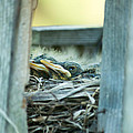 Baby Robins by Linda Kerkau
