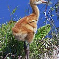 Baby Sandhill Crane 064  by Chris Mercer