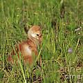 Baby Sandhill Crane Chick by Deborah Benoit