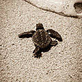 Baby Sea Turtle by Sebastian Musial