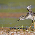 Baby Stilt Stretching Its Wings by Bryan Keil