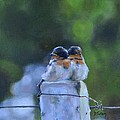 Baby Swallows On Post by Donna Tuten
