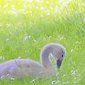 Baby Swans Enjoy A Summer Day by Hal Halli