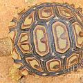 Baby Tortoise by Hermanus A Alberts