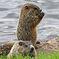 Baby Woodchucks by Alex  Call