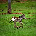 Baby Zebra Running by Tara Potts