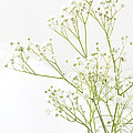 Baby's Breath by Jacqueline Moore
