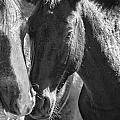 Bachelor Stallions - Pryor Mustangs - Bw by Belinda Greb