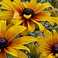 Back-eyed-susan by Ivete Basso Photography