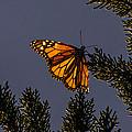 Back Lit Monarch by Randy Straka