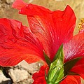 Back Of A Red Hibiscus Flower Against Stone by Tracey Harrington-Simpson