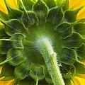 Back Of Sunflower by Sharon M Connolly