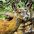 Back-tail Doe by Robert Bales