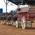 Back View Anheuser Busch Clydesdales Pulling A Beer Wagon Usa by Sally Rockefeller