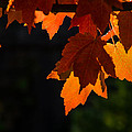 Backlit Autumn Maple Leaves by Mick Anderson