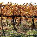 Backlit Autumn Vineyard by Carol Groenen
