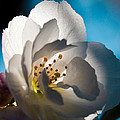 Backlit Cherry Blossom by David Patterson