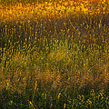 Backlit Meadow Grasses by Marty Saccone