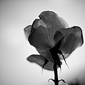 Backlit Rose Black And White by Ron White