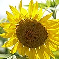 Backlit Sunflower by Maria Urso