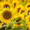 Backlit Sunflower by Mark Robert Rogers