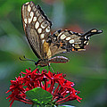 Backlit Swallowtail by Larry Nieland