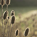 Backlit Teasel by Anne Gilbert