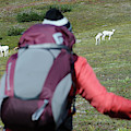 Backpacker Watches Dall Sheep by HagePhoto