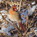 Backyard Birds Female Nothern Cardinal by Bill Wakeley